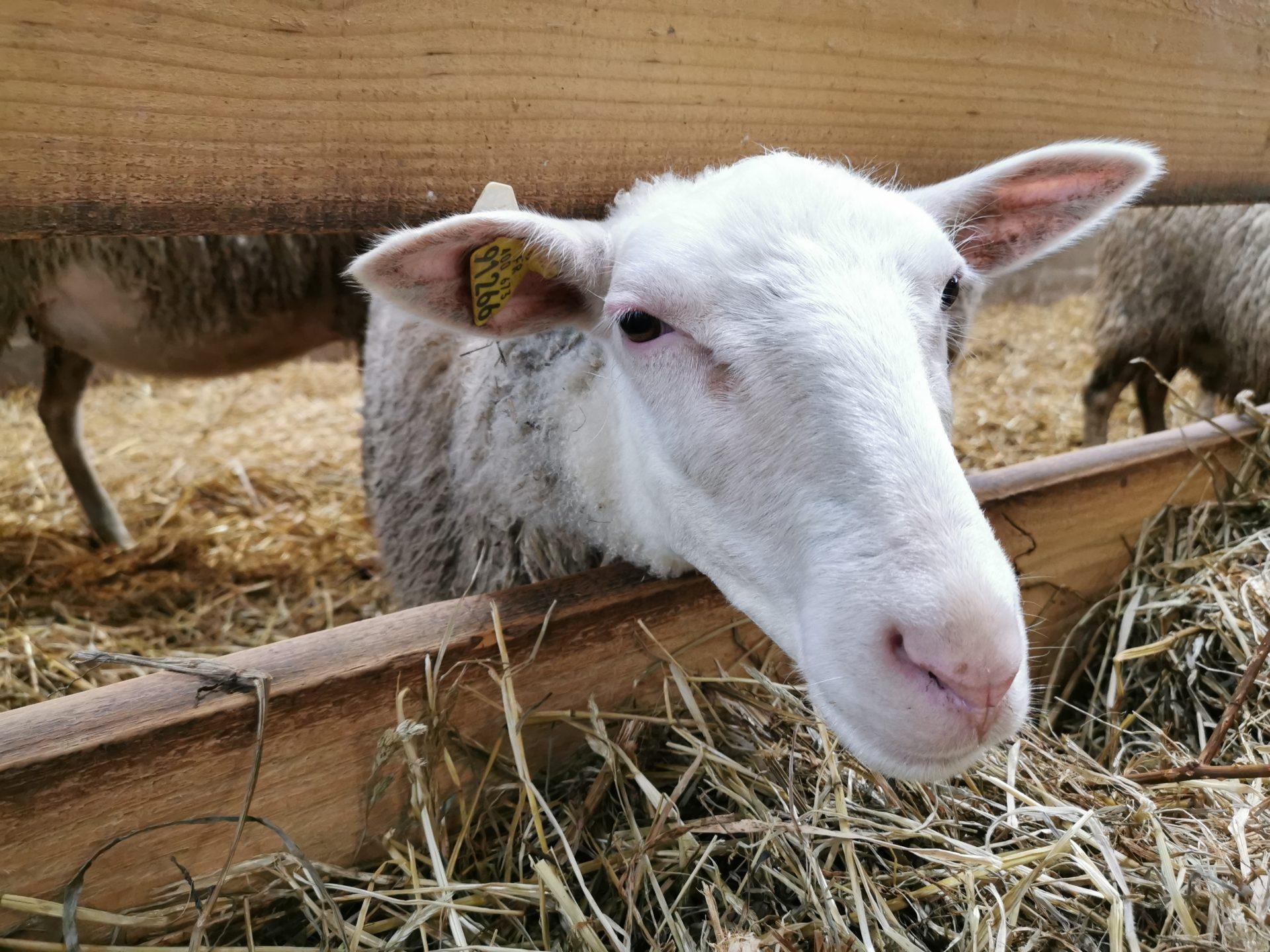 Atelier ovin - mouton