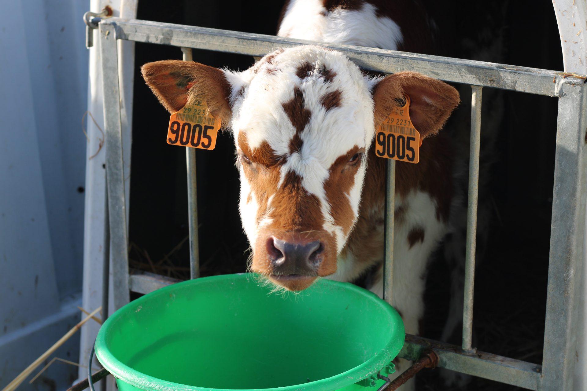 atelier lait - vache normande